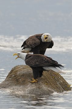 American Bald Eagles.  I have to say they look like school girls wearing pants under their dresses on a cold day.