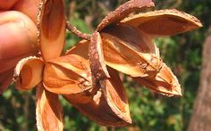 Cápsulas de frutos de cedro americano (Cedrela odorata)