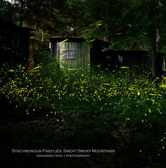 Synchronous Fireflies in the Smoky Mountains by Haoxiang Yang Photography