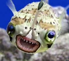 Bad ass Puffer fish