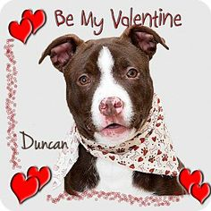 I am at a kill shelter.  I need a home or rescue. Troy, OH - Pit Bull Terrier Mix. Meet Duncan a Dog for Adoption.