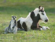 """Lemur and foal"" - photo by Mark J. Barrett"