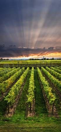 Picture of Vertical panorama of vineyard at sunset in Niagara peninsula, Ontario, Canada. stock photo, images and stock photography. Ontario, Beautiful World, Beautiful Places, Wine Vineyards, Douro, Vides, Mendoza, Berg, Canada Travel