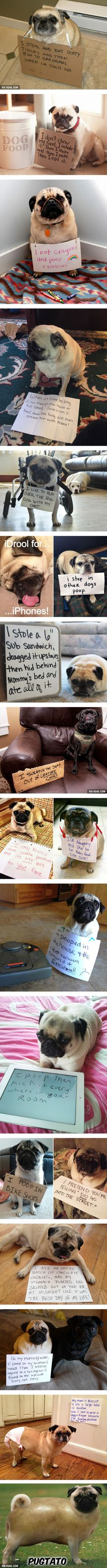 Hilariously Misbehaved Pugs