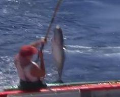 คลิบตกปลาทะเล Archives - Fishing Thai Online Tuna fishing 85 Port Lincoln 150 kg plus fish biggest seen in my years fishing