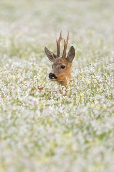 A young deer sprouting up