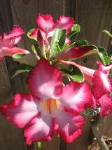 Desert Rose, Adenium obesum.  MY mother just picked one of these up for my garden, now I need a pot and some succulent potting mix...