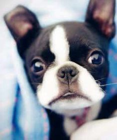 Bosty. Boston Terriers, Boston Terrier Love, Terrier Puppies, Cute Puppies, Cute Dogs, Dogs And Puppies, Doggies, Puppy Care, Mans Best Friend