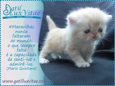 Filhote de gato do Gatil LuxVitae, raça exotic sh.