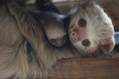 Female Hoffmann's two-toed sloths can carry their young for up to nine months through the forest after birth! Cute Baby Sloths, Cute Sloth, Cute Baby Animals, My Spirit Animal, My Animal, Two Toed Sloth, Fluffy Animals, Cute Animal Pictures, Animals Beautiful
