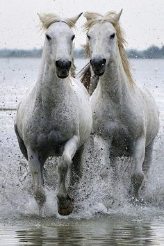 Wild Horses of Camargue France All The Pretty Horses, Beautiful Horses, Animals Beautiful, Cute Animals, Especie Animal, Mundo Animal, All About Horses, Majestic Horse, White Horses