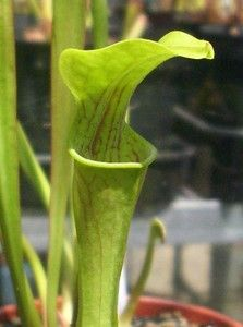 """Sarracenia Oreophila """"Pietro Paulo Clone, MK011 """" beautiful carnivorous plant.  Due to customs and CITES regulations, bids from within the European Union only please."""
