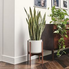 """Sansevieria - """"Snake plant"""" MASTER BEDROOM removes toxins from its immediate environment, releases oxygen in night. Sansevieria Plant, Low Light Plants, Perfect Plants, Bathroom Plants, Ornamental Plants, Snake Plant, My Living Room, Plant Decor, Indoor Plants"""