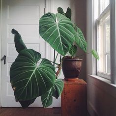 We'll have a two more of these beauties available in the shop tomorrow. I personally think everyone should have one, so consider this a PSA. It's a Philodendron gloriosum .