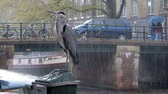 Wild animal life in the center of Amsterdam. Here a heron on the Prinsengracht. Photo ANP. #amsterdam #historic #sites