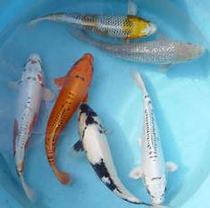 how to breed koi carp - Google Search