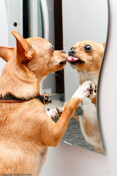 "Chihuahua: ""I love myself so much!!!"""