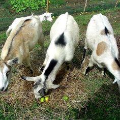La capra - le capre