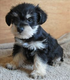   Miniature Schnauzer Puppy black and silver, this is such a super darling puppy