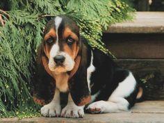 basset hounds!
