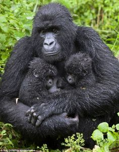 gorillas with babies | Help, Mum, it's starting to rain: Her hair matted by the deluge ...
