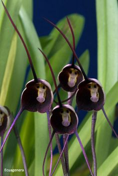 Dracula benedictii(monkey Faced Orchid)