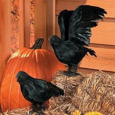 Realistic Feathered Crows -Set of 2 - Great Halloween Prop! by wd, http://www.amazon.com/dp/B0019IFDHC/ref=cm_sw_r_pi_dp_oNIAqb0NEGGQF