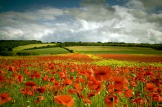 A Feast of Colour, ( Poppy Field )...