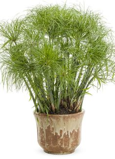 Proven Winners - Graceful Grasses® Prince Tut™ - Dwarf Egyptian Papyrus - Cyperus papyrus green plant details, information and resources. Bog Plants, Growing Plants, Native Plants, Foliage Plants, Potted Plants, Cyperus Papyrus, Container Plants, Container Gardening, Petunia