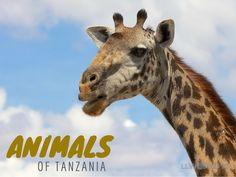 The Animals of Tanzania - Photo Essay: Giraffes, Lions, Hippos, Elephants and more on LLworldtour.com