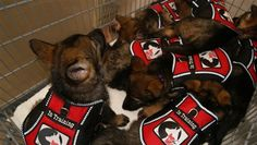 Cute as a bunch of buttons.....these pups are already training to be service dogs.