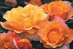 "Royal Pageant™ - Roses - Heirloom Roses Climbing Roses, English Legend® Roses Shrub Roses A colorful climber of great beauty. Its fragrant 5"" flower (petals 25) is a lovely blend of rich apricot amber and golden yellow, produced in profusion on a sturdy continual blooming plant with rich deep-green, leathery foliage. May also be grown as a free standing shrub. A most popular color combination. Makes a good cut flower"