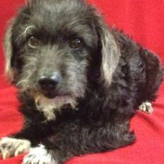 1000 Images About Possible Pet On Pinterest Poodles