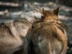 """her-wolf: """" Loving Wolves Hugging by Jay Huron A """"touching moment"""" between two gray wolves seemingly hugging and snuggling. """""""