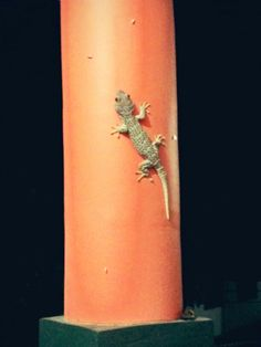 Tokek or Indonesian Gecko, everyday will growup more bigger and bigger. #Tokek #Gecko #Indonesia # MyHouse