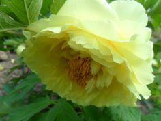 Piwonia Yellow Snow
