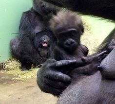new baby gorilla born at the Knoxville Zoo