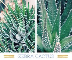 """Desert plants have found a place in modern home and garden design. There are many plants in the desert that can survive in a xeriscape garden or even in a glass terrarium. The term xeriscape is derived from the Greek word xeros, which means """"dry,"""" and is a form of landscaping that conserves water through …"""