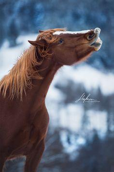 Freiberger Stute flehmt vor Winterlandschaft | Wintershooting | Pferd | Pferdefotografie | Pferdefotografie Idee | Horse Bilder | Fotoshooting | Foto | Fotografie