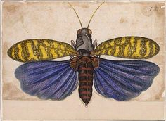 Insect illustration by Alexander Marshal (1650-1682). Chiefly known for his flower and plant illustrations, his expertise in insects came to light in 1980 through The Marshal Insect Album