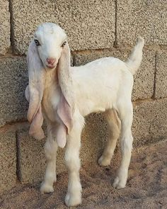 Viral Damascus 'goat monster' is considered 'the most beautiful goat in the world' Some say he's the Arabian Horse of the goat world. In some ways, he's more like a bulldog. Unusual Animals, Rare Animals, Animals Beautiful, Animals And Pets, Beautiful Creatures, Interesting Animals, Smiling Animals, Pretty Animals, Cabras Animal