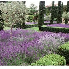 """Lavender at its best in this garden designed by Dominique Lafourcade including Italian Cypress and Olive trees.. All the elements that thrive in…"""
