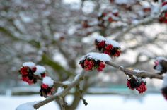 One of the flowering trees in Cripplegate Park in Worcester during the snowfall of January 2013. (Nikon D5100)