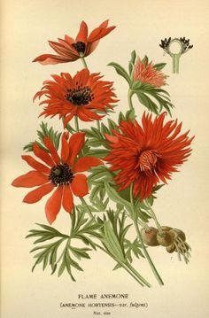 Anemone hortensis.Favourite flowers of garden and greenhouse / - Biodiversity Heritage Library