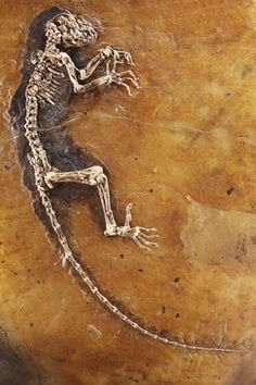 Ida, one of the most complete primate fossils ever found, likely a very early haplorhine primate