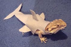What? Seriously?! Who the heck thinks to dress up their lizard? And as a shark? Just plain silly... :)