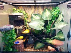 Diy crested gecko ideas Crested Gecko set up. Reptile Habitat, Reptile Room, Reptile Cage, Crested Gecko Care, Crested Gecko Habitat, Leopard Gecko Cage, Lizard Terrarium, Dumpy Tree Frog, Lizard Cage