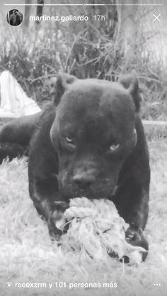 Panther, Pitbulls, Dogs, Animals, Animales, Animaux, Pitt Bulls, Pet Dogs, Pit Bulls