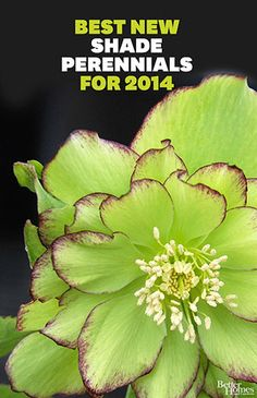 The Best New Shade Perennials for 2014 - winter thriller Irish ruffles