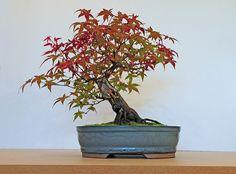 "Acer palmatum ""Deshojo"" Japanese Maple Bonsai Tree | por Steve Greaves"